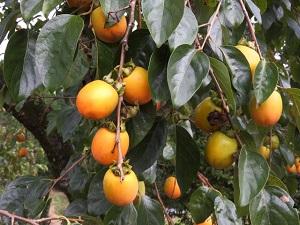 渋柿タンニン